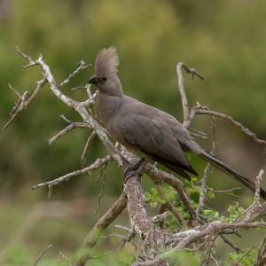 Grey Go-Away Bird (bekend om zijn roep: awaaayyyy)