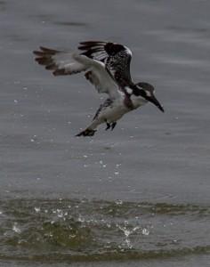 Pied Kingfisher vangt een miniscuul visje (goed kijken)