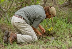 Cobus graaft een African Potato uit (het beste medicijn in de bush, naar het schijnt)