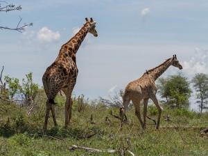 Giraf-mannetje steekt zijn intenties niet onder stoelen of banken