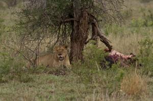 Leeuwin uitgeput na een zware maaltijd. Rechts de resten van het Blue Wildebeest