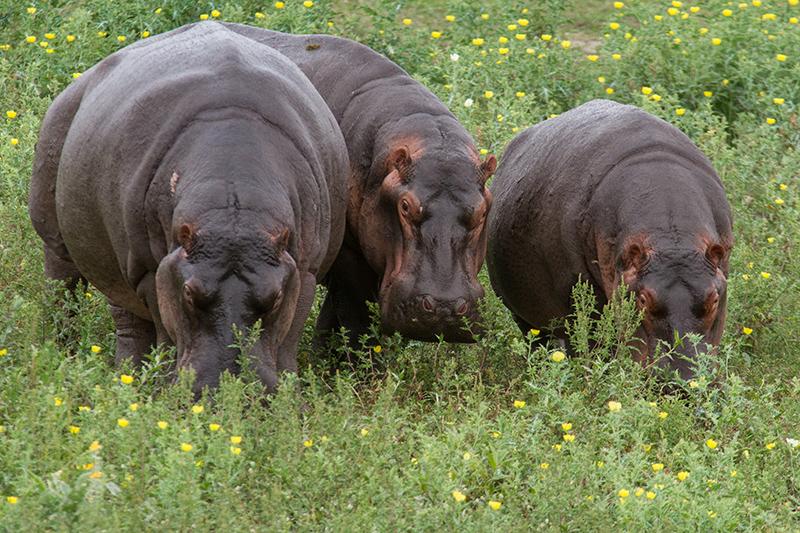 Nijlpaarden uit het water... moeilijk voor te stellen dat ze 45 km/h kunnen halen als ze achter je aan zitten