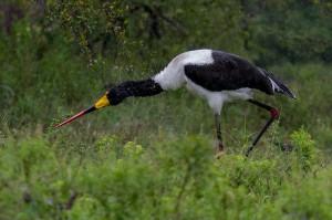 Saddle-billed Stork is ondanks de regen erg actief...
