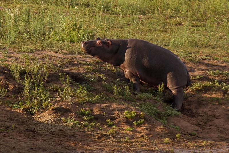 Jong nijlpaard warm zich op