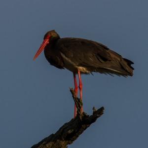 Black Stork in het zonnetje