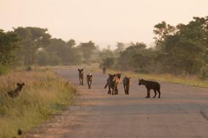 Hyena's doen hun reputatie eer aan: in de groep zijn ze voor niets en niemand bang en lopen ze op hun gemak op de auto af