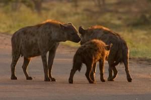 De Hyena's begroeten elkaar...