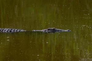 Krokodil in actie