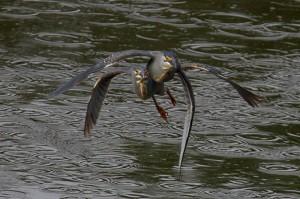 .. in een hogesnelheidsachtervolging met een andere Green-backed Heron