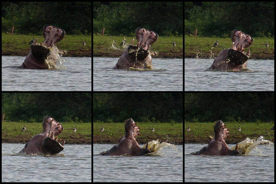 De nijlpaarden zijn zeer actief (cq. dominant)